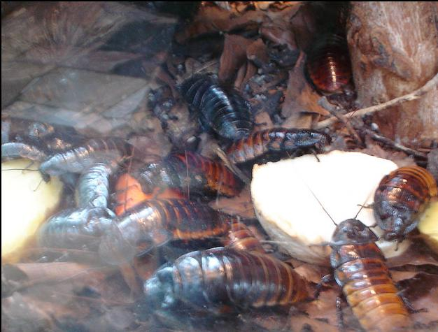Cockroaches make great pets. These roaches seen here are breed by a professional and are sold by them as well.