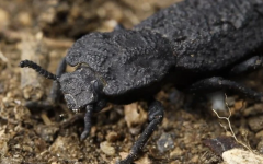 The diabolical ironclad beetle.