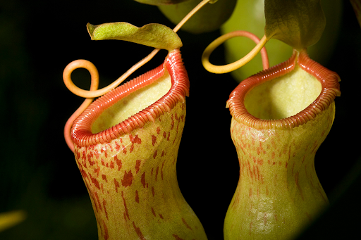 The pitcher plant.