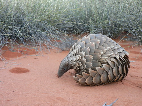 A ground pangolin, one of several species of the animal.