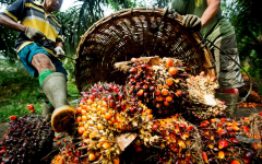 The fruit from oil palm plants, used to extract palm oil.