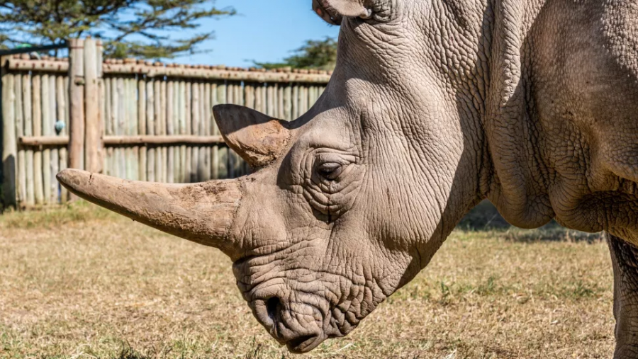 Genetic research my save the northern white rhinoceros.