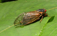15 states will see a rapid emergence of cicadas belonging to a particular brood, Brood X.